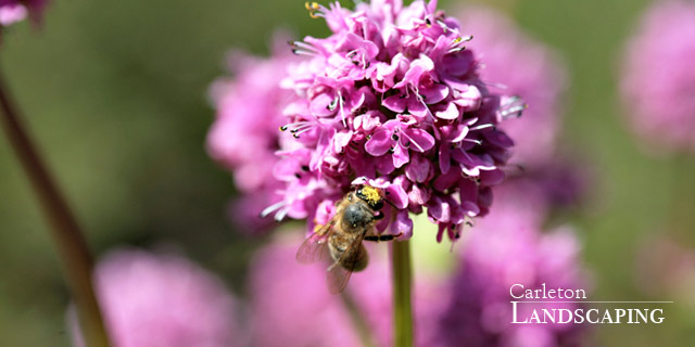 Click here to go to Pollinator plants.