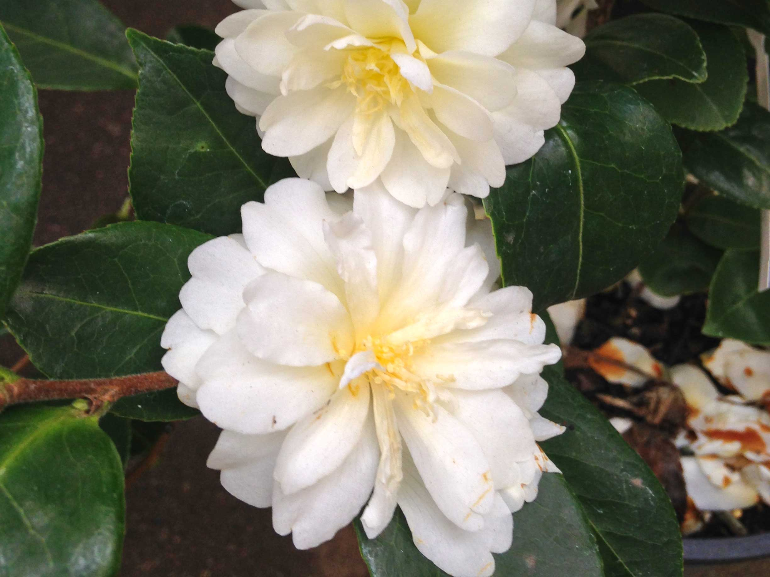 White Double flowering Camellia.